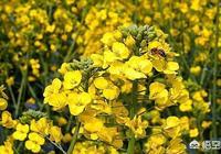 農村種植的菜籽用於榨油,有人說常吃菜籽油不好,為什麼?