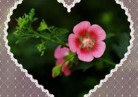春天種花篇—小木槿