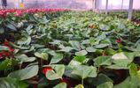 山東濟南長清張夏鎮花卉種植,四十萬株高檔花