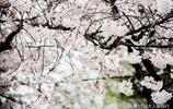 韓國賞櫻地,風格不同於中國日本,小家碧玉首爾人的最愛