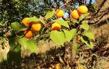 過去農村小孩最愛的杏,如今爛在樹上,也沒人摘,這是為啥