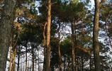 圖蟲風光攝影:松林的暖陽