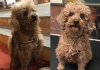 網友撿到一隻髒兮兮的流浪狗,沒想到是隻超級可愛粘人的泰迪犬!