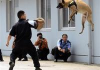 最佳軍警犬英雄,非昆明犬莫屬