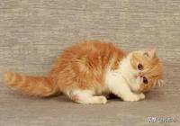 加菲貓多少錢一隻