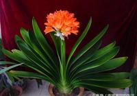 君子蘭不開花怎麼辦 如何讓君子蘭開出美麗的花朵