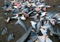 鯊魚被割了魚翅還能活嗎?