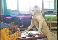 父母養狗監督女兒寫作業,看著狗狗認真的表情,網友:操碎了心