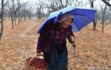 7旬老人冒雨拾落棗,她道出滿園紅棗無人收的原因
