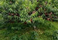 夏季好水果炎陵黃桃,好水果產自炎陵瑤鄉