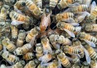 蜂王漿,最接近長生不老藥的產品