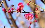 青島天氣持續晴好 海邊梅花枝頭盛開 唐島灣南岸看梅花了