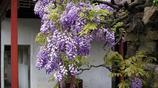 這十種的爬藤花卉一開花就成花海,把你家打造成浪漫歐式花園