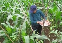 玉米追施氮肥尿素什麼時候什麼方法最為合適?