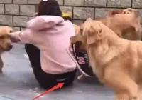 7個大金毛和女主人一塊散步,為了測試狗狗的忠誠度,假裝暈倒