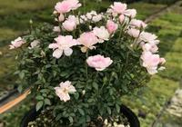 這款月季不招蟲,開花只有硬幣大小,養好了冬天照樣有花賞