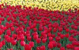 南京綠博園荷蘭園|鬱金香盛開  不來拍張美照虧大得了!