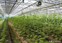苦瓜的種植技術之一,苦瓜的田間管理