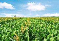 玉米後期看點