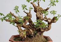 植物傷口癒合劑在盆景樁頭上使用好處多,使用方法和注意事項