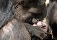 獼猴呵護死亡近4周的獼猴寶寶,其形狀酷似木乃伊