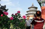 北京天壇公園現月季盛宴 引眾多遊客前來觀賞