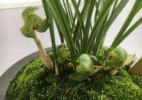 蘭花無根了還會生根嗎?蘆頭飽滿就可以,蘭花上盆焦尖怎麼回事?