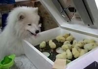 主人買了群小雞回家,沒想到被家裡薩摩耶給盯上了,正準備下手結果卻~
