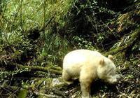 世界上野生白化病大熊貓的第一張照片