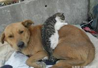 大花貓怕冷,田園犬大黃霸氣地將貓咪摟在懷裡!路人:撒狗糧啊!