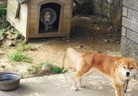傷重浪犬闖入家,暖心柴把狗窩讓給它站門外守護
