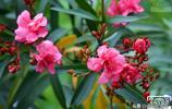 五月遇見美麗的花朵·夾竹桃綻放的豔麗