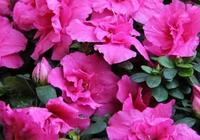 怎樣養杜鵑花能多開花?這4個促花小祕訣你學會了嗎