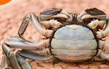 這才是真正的正宗陽澄湖大閘蟹!謝霆鋒教你如何識別大閘蟹