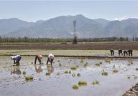 代縣滹沱河沿岸農民喜種水稻插秧忙