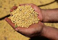 日媒:為減少貿易戰損失 美國農民掀起大豆儲藏熱