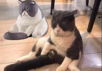 神還原!主人買了個貓咪公仔回家,第二天家裡貓咪學公仔睡姿