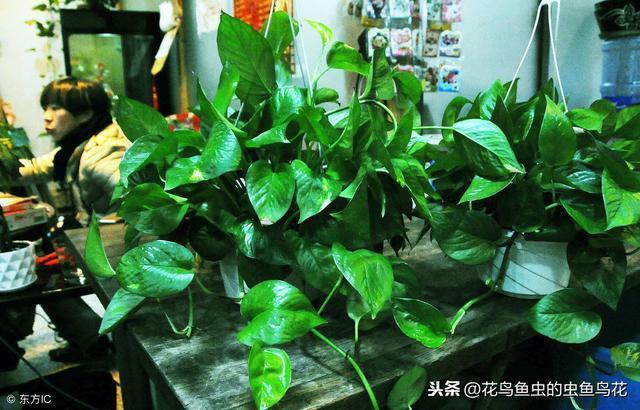 小葉綠蘿與綠蘿柱的關係