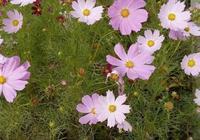 花兒總養死,試試2種草花,1把種子撒陽臺,不用管也能變花海