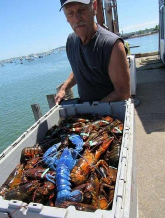 漁民分享捕到藍色龍蝦,網友卻只關心煮熟是什麼顏色