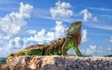 高清動物美圖:蜥蜴