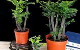 越來越多人客廳不擺綠蘿!城裡人早放這些盆栽,好看好聞淨化空氣