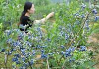 天賜藍莓:小藍莓如何撬動大產業