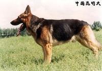 德牧和昆明犬哪個好?