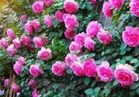 藤本月季花牆養護成功了嗎?讓藤本月季長得又粗又壯?記住這幾點