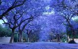 漫天紫色如霞飛,四川西昌,如夢似幻,期待和她淋一場藍紫花雨
