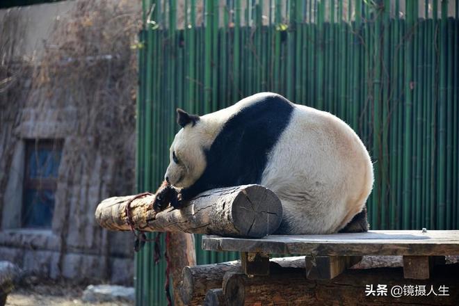北京:大熊貓睡相笑翻遊客,這樣的萌態可以有