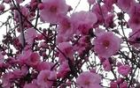 瀋陽:開得正豔的榆葉梅
