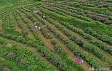 【景點推薦】貴州黔西:300餘畝食用玫瑰花開得正豔,只等你來!