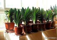 """君子蘭最愛這""""2種營養土"""",不爛根、長得壯,葉子油綠開花旺!"""